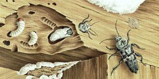 Holzbock im dachstuhl hausbock parisek saniert gmbh co kg holzwurm co tierische holzsch dlinge - Holzbock im dachstuhl ...