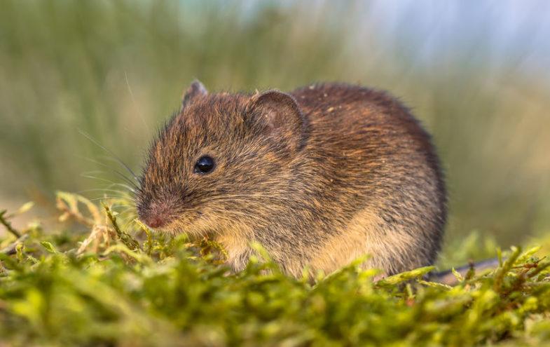 Bilder wühlmäuse Über Mäuse